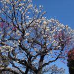 今日は晴れ。とても寒いです。でもそのおかげで桜は今週末まで持ちそうですね。